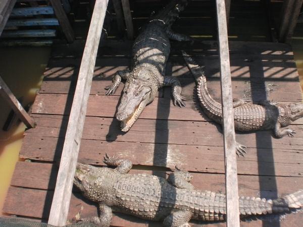 Image of Cambodian Crocodile Farm