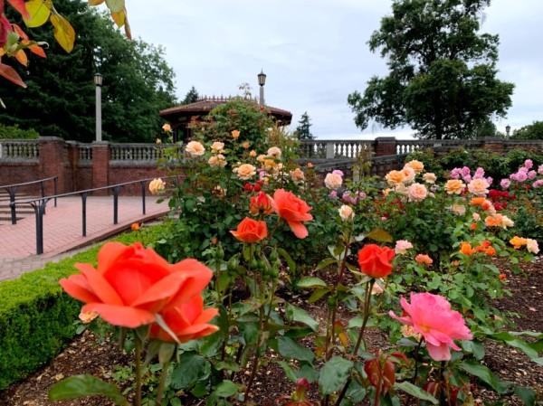 roses_closeup